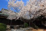 往生院の薄墨桜