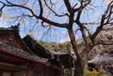 地福寺のしだれ桜