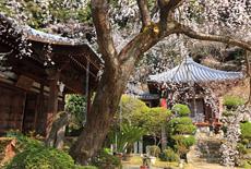 地福寺の枝垂れ桜