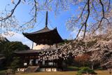 根来寺の桜 国宝大塔