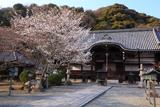 根来寺の桜 光明真言殿
