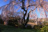 新住の枝垂桜