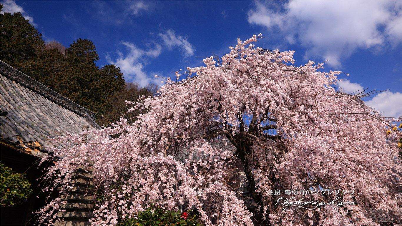 専称寺の桜 壁紙
