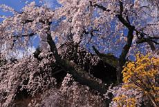 當麻寺護念院のしだれ桜