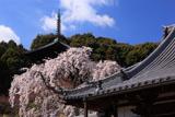 當麻寺護念院の枝垂桜