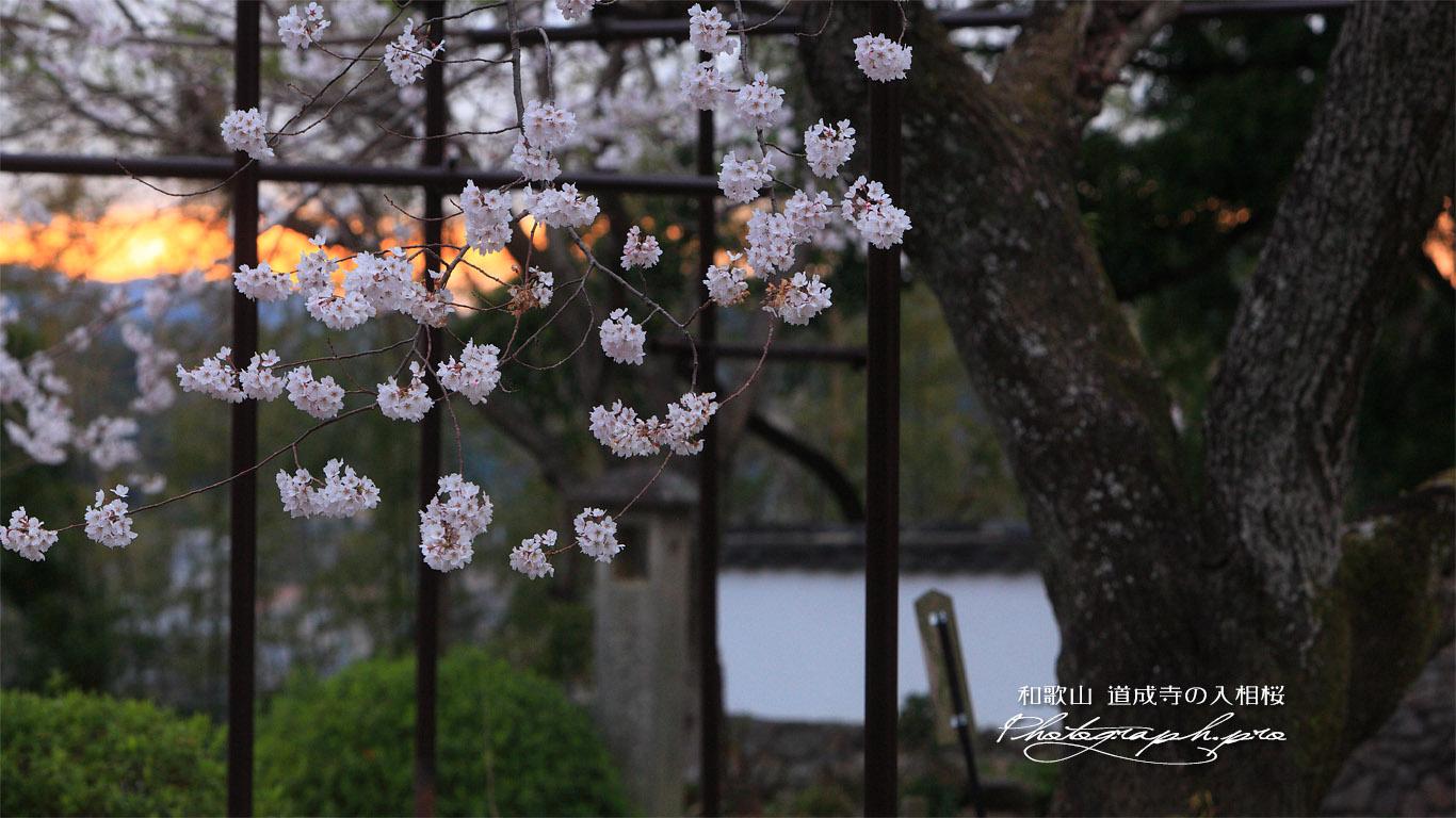 入相桜 壁紙