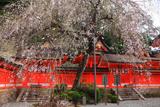 熊野那智大社のしだれ桜