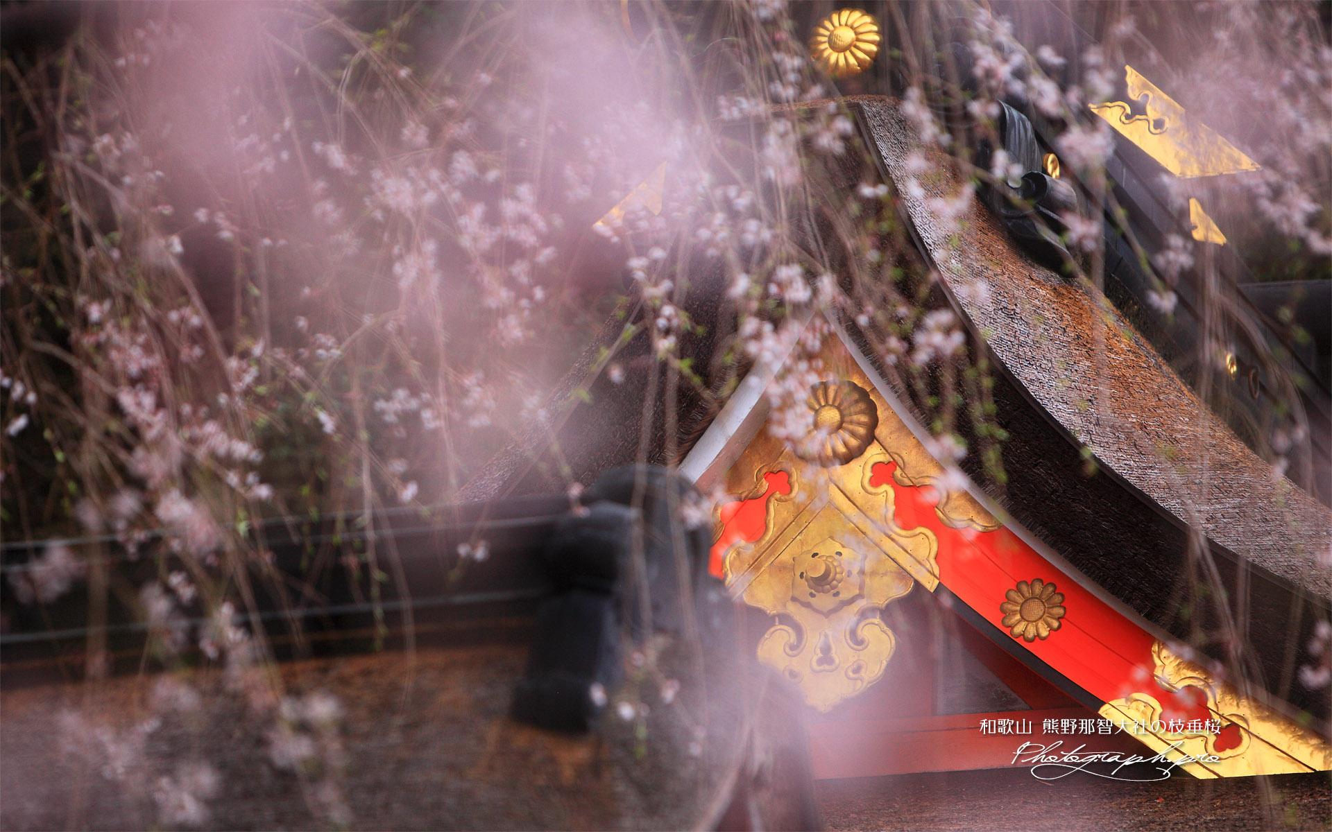 熊野那智大社の枝垂桜