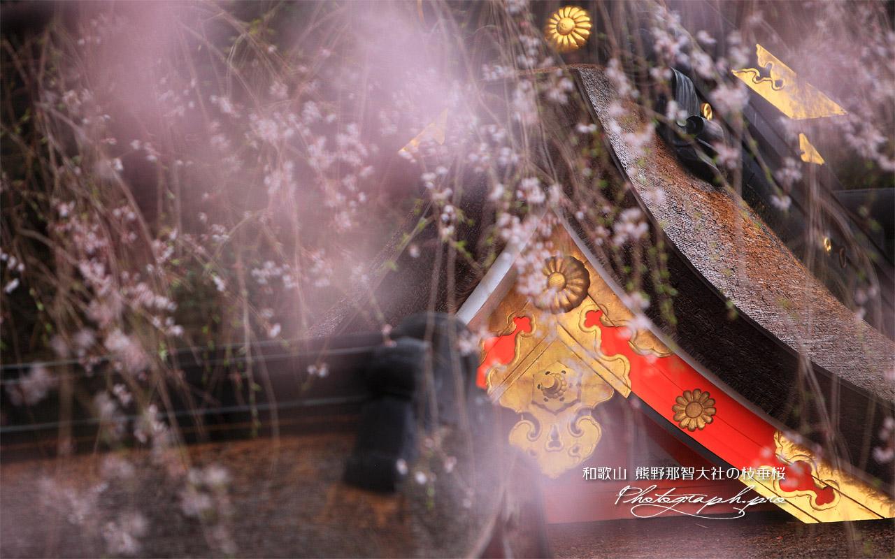 熊野那智大社の枝垂桜 壁紙