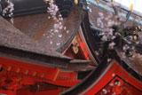 熊野那智大社のシダレザクラ