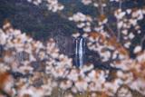 山桜越しの那智滝