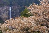 山桜と那智滝
