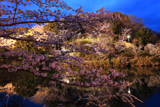 動鳴気峡の桜