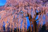 樫辻の女姫桜