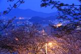 紀三井寺の桜 和歌浦湾
