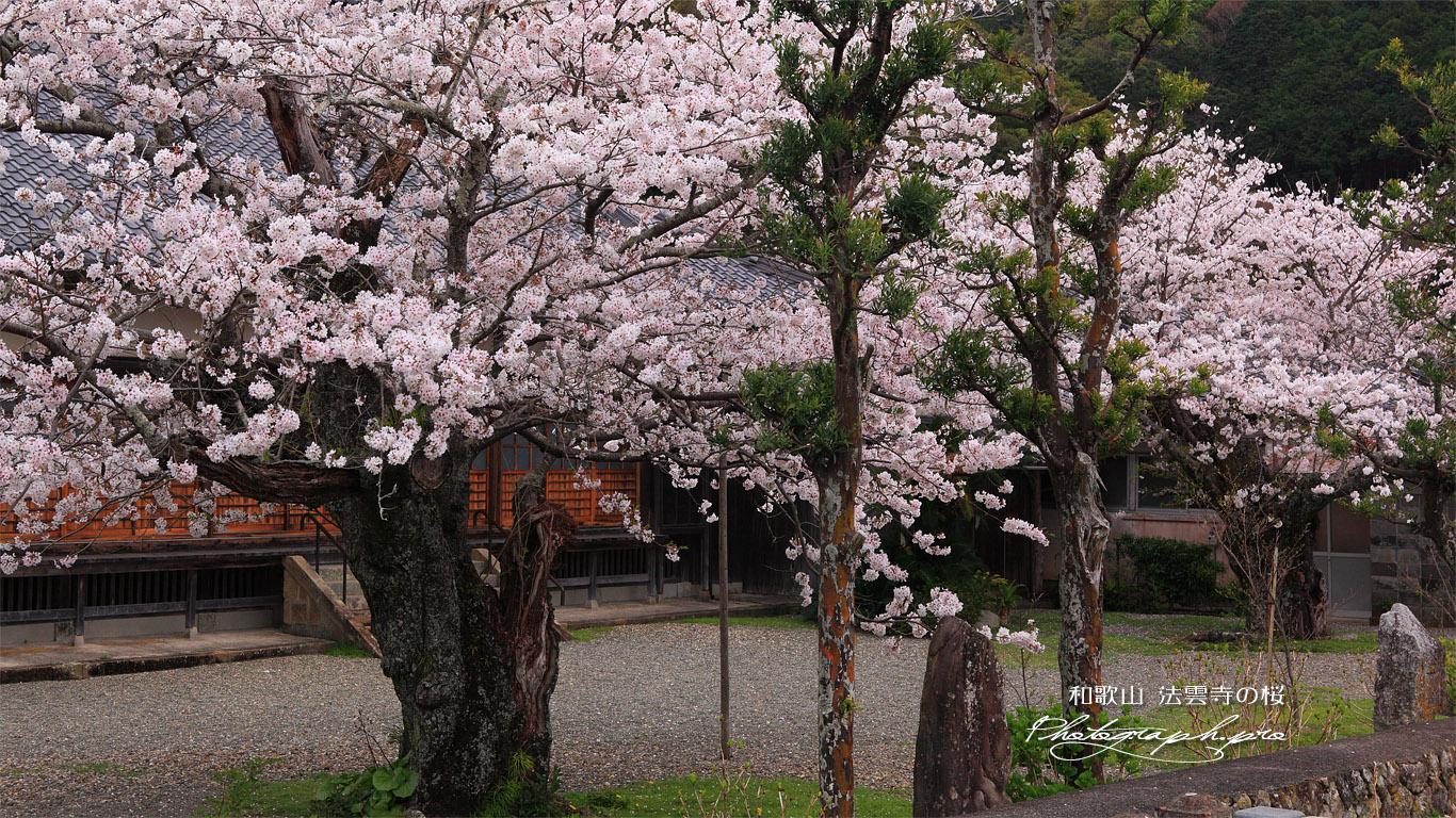 法雲禅寺の桜 壁紙
