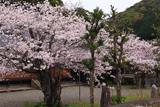 法雲禅寺の桜