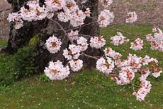 法雲寺の桜