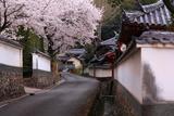 粉河寺の桜 境内外の道路