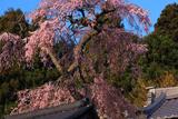 光専寺のしだれ桜
