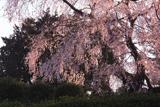 新住の彌三吉桜