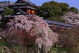 郡山城跡の枝垂桜