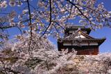 大和郡山城跡の桜