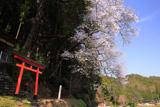 春日神社のエドヒガン