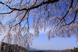 栃原のしだれ桜