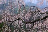 栃原の枝垂桜