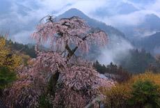 光専寺の枝垂桜