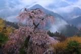 奈良県の桜