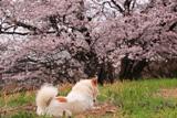 幾坂池の一本桜
