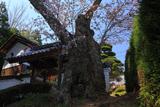 慈音寺のヤマザクラ