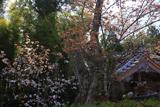 慈音寺の山桜