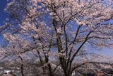 慈音寺の桜