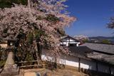 山王宮日吉神社の含紅桜