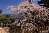 日吉神社の含紅桜