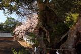 山王宮日吉神社の桜