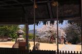 山王宮日吉神社含紅桜
