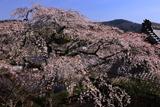 雲源寺のしだれ桜
