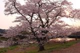 般若寺の一本桜