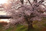 般若寺の桜