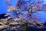 般若寺の夜桜