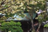 白峯神宮 鬱金桜