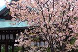 白峯神宮 撫子桜と拝殿