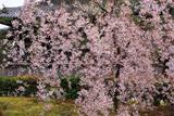 浄福寺 枝垂れ桜