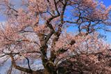 見返りの桜