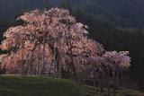 畑の枝垂れ桜