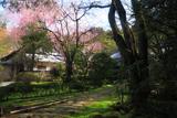 龍潭寺のベニシダレザクラ